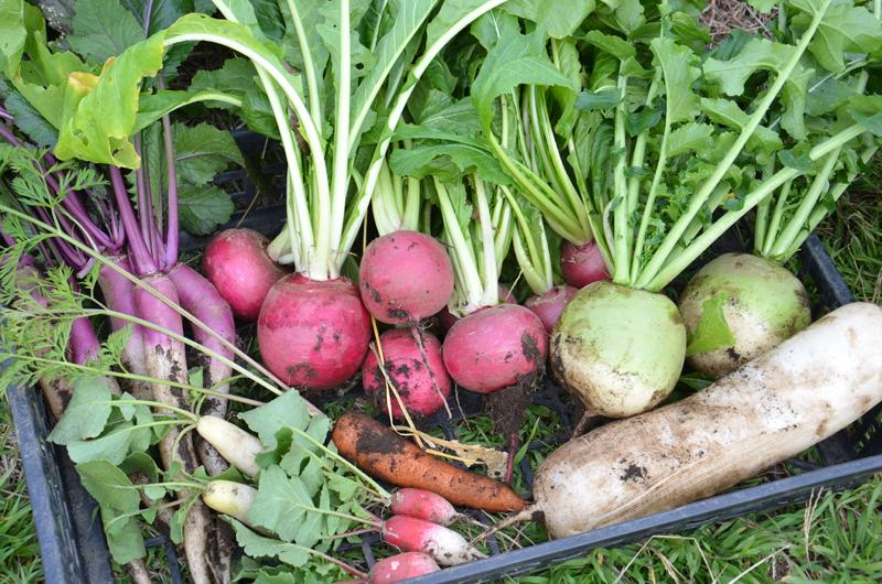 *冬は根菜が豊富にとれる