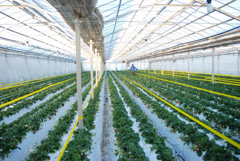 *土耕栽培で作られている。白いマルチシートで、光を効率よく使っている。