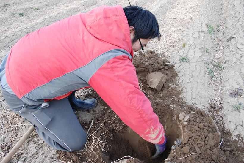 *大和芋畑 収穫時に地中から掘り出す