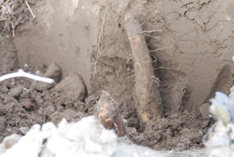 *群馬は柔らかい土質のため細く長く育つ長首系が主流