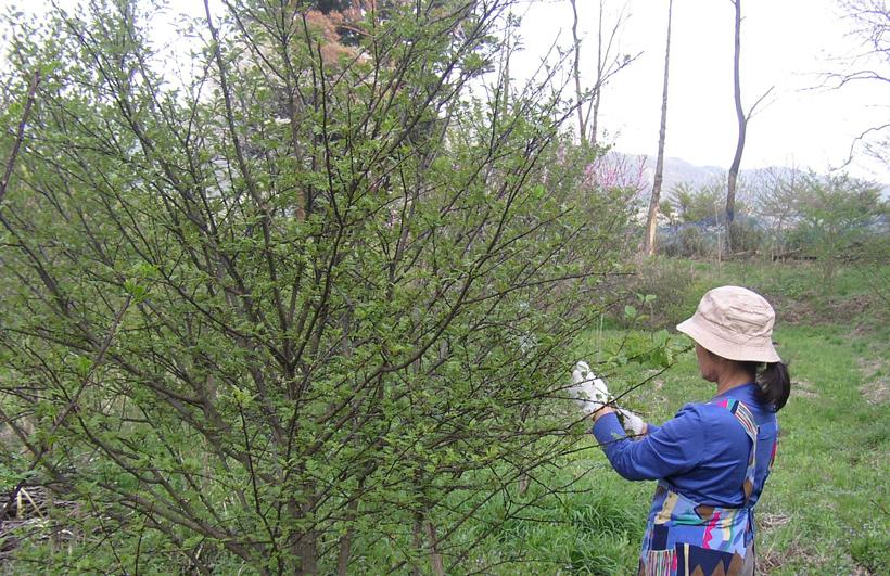 *山椒の芽は手で一つ一つ丁寧に摘む