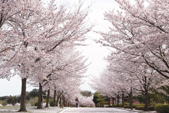 *4月は園内の桜が約300本咲き誇る、とっても華やかな時期。