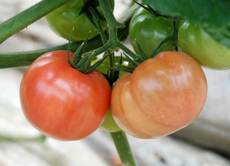 *中玉トマトも栽培されていた