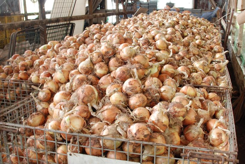 *収穫後は日の当たらない涼しい場所で保管し、出荷される