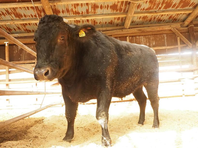 *成牛 牛舎の見学中こちらを見ると寄ってくる牛が多く、大事に育てられていることが分かった