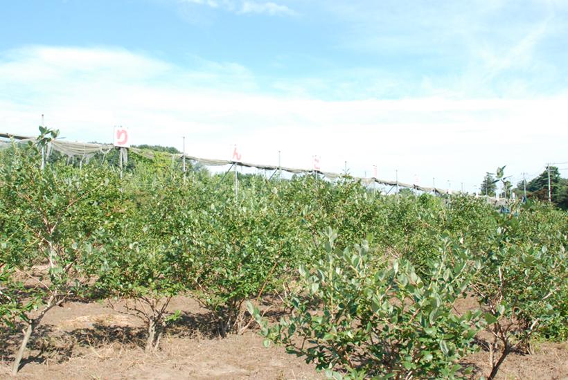 *赤城山麓の雄大な自然に囲まれた農園は日当り抜群 手前はブルーベリーの木