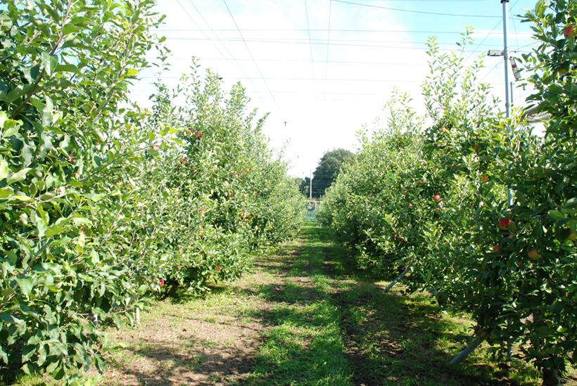 *果樹園内の様子 ここでりんご狩りが出来る