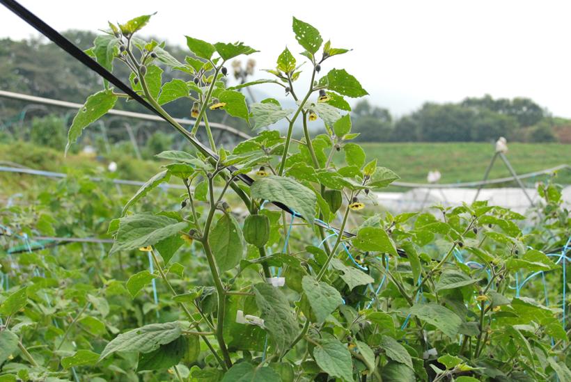 *ケープグーズベリーの木 小さな黄色い花が咲いた後、ガクが袋状に育ち実を包み込む