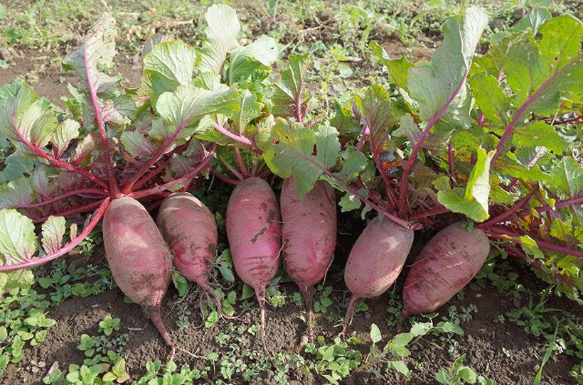 *五木赤大根 食べ方…酢漬けにすると鮮やかで綺麗に、大根おろしにも 栄養…カリウム、カルシウム等 時期…12月〜2月