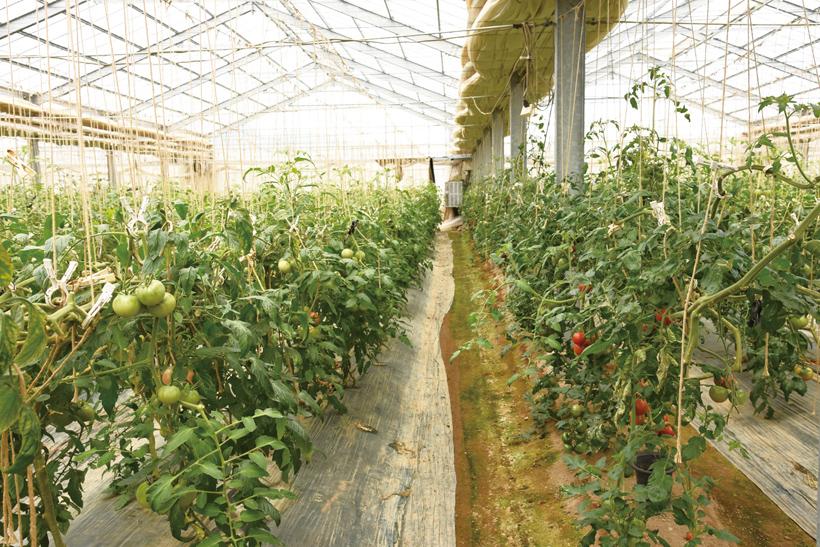 *ハウス内、連続摘芯をアレンジした栽培を行っている