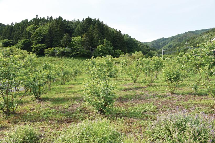 *ブルーベリー畑