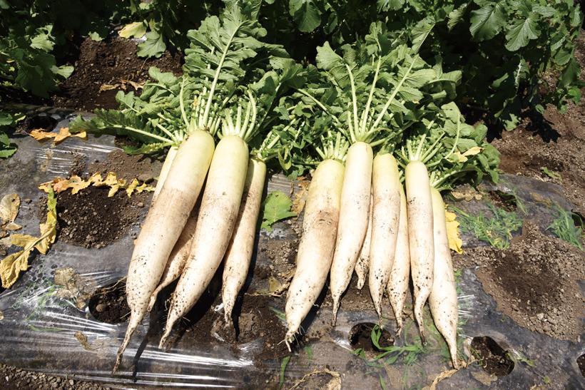 *大根 販売時期…一年中 食べ方…大根おろし、大根サラダ、漬物 栄養…カリウム、カルシウム、ビタミンC、葉酸、食物繊維