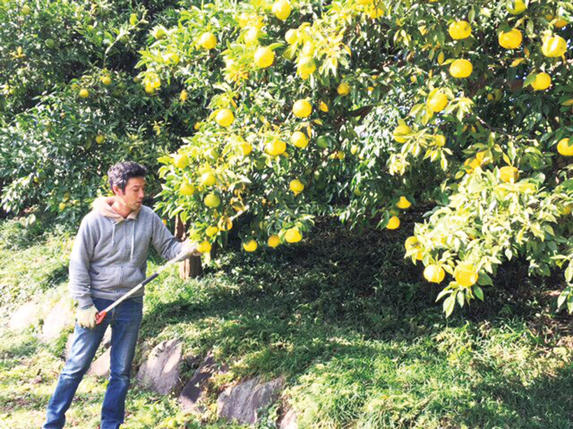 *青柚子、黄柚子2回に分けて収穫を行う