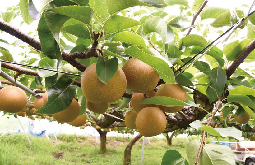 *収穫を待つ梨