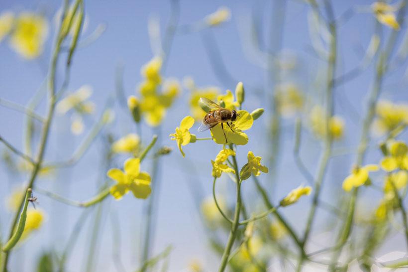 *自然循環の役目を担っているミツバチ