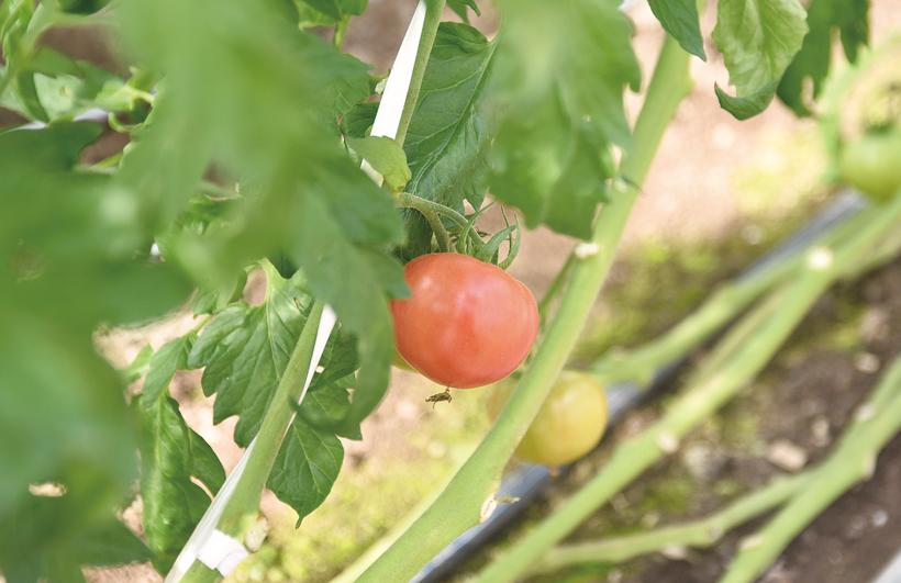 *間も無く収穫を迎えるトマト