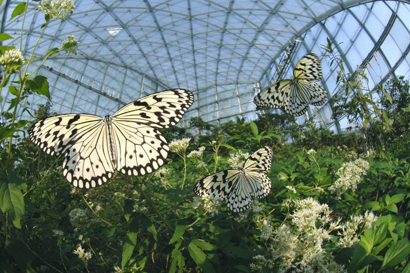 (オススメ)昆虫ふれあい温室とオオゴマダラ