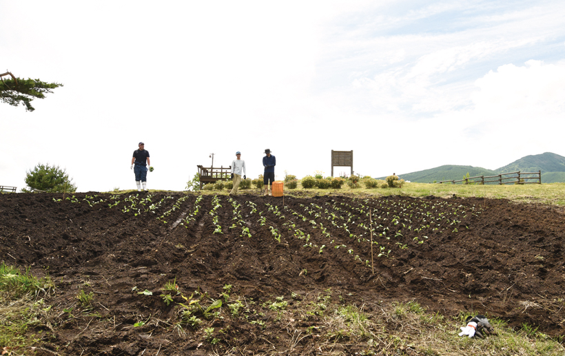 *ハートの形に植えられたキャベツの苗 10月には収穫体験イベントも開催する