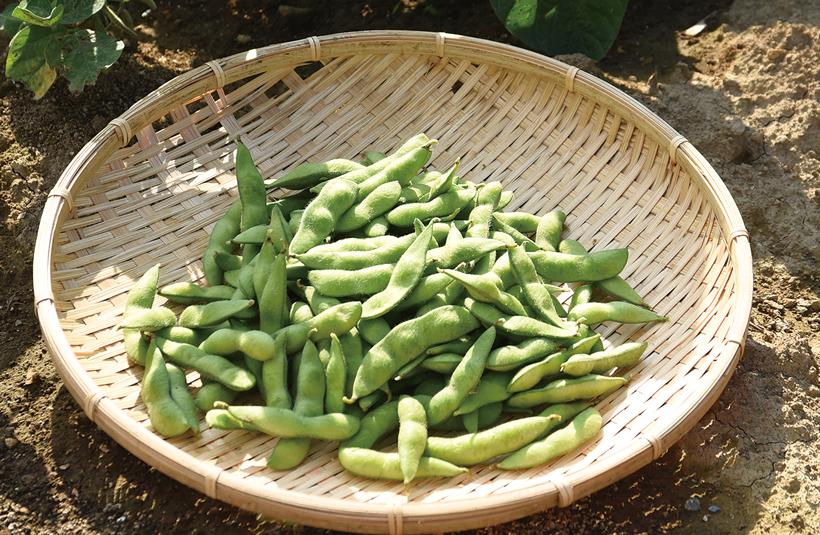 *枝豆 販売時期…6月中旬〜7月いっぱい 食べ方…固めに茹でてからオリーブオイルとにんにくで炒める 栄養…食物繊維、カルシウム、鉄分、ビタミンC、カリウム 等