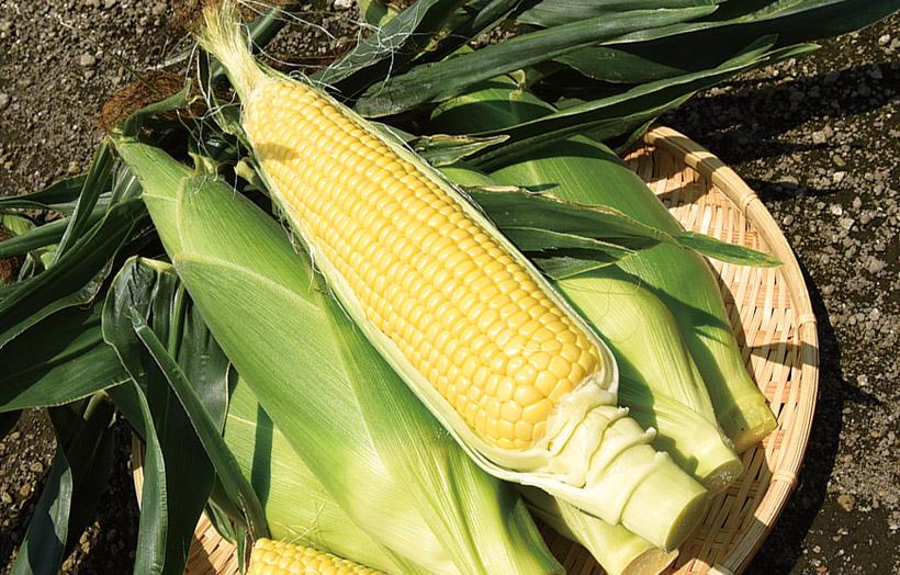 *とうもろこし 販売時期…7月上旬〜9月いっぱい 食べ方…茹でてそのまま 栄養…炭水化物、食物繊維、ビタミンB1、ビタミンB2、ビタミンE、ミネラル