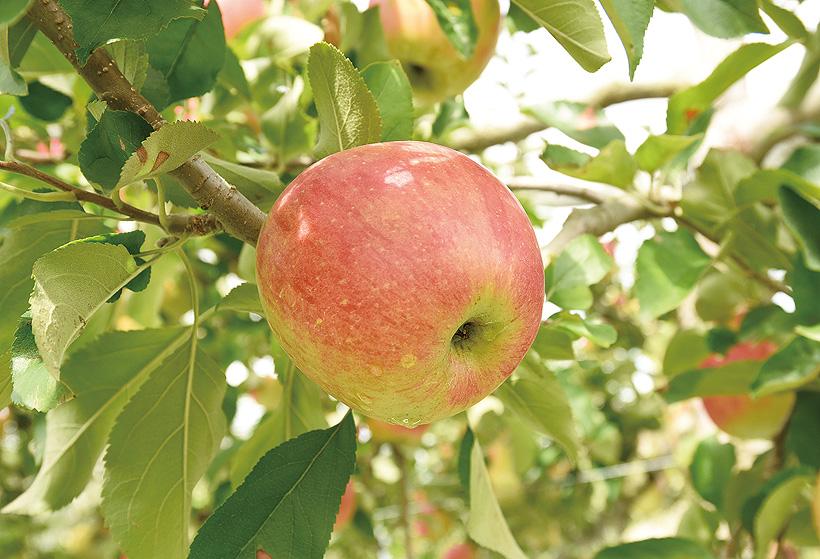 *いきいきと実るりんご