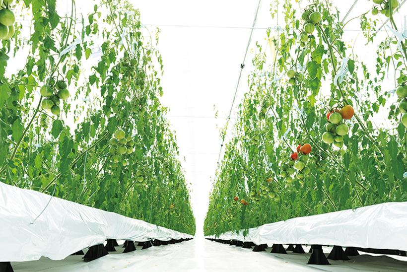 *フィルム農法にて栽培されているトマト