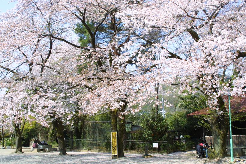 桜kiryuzoo