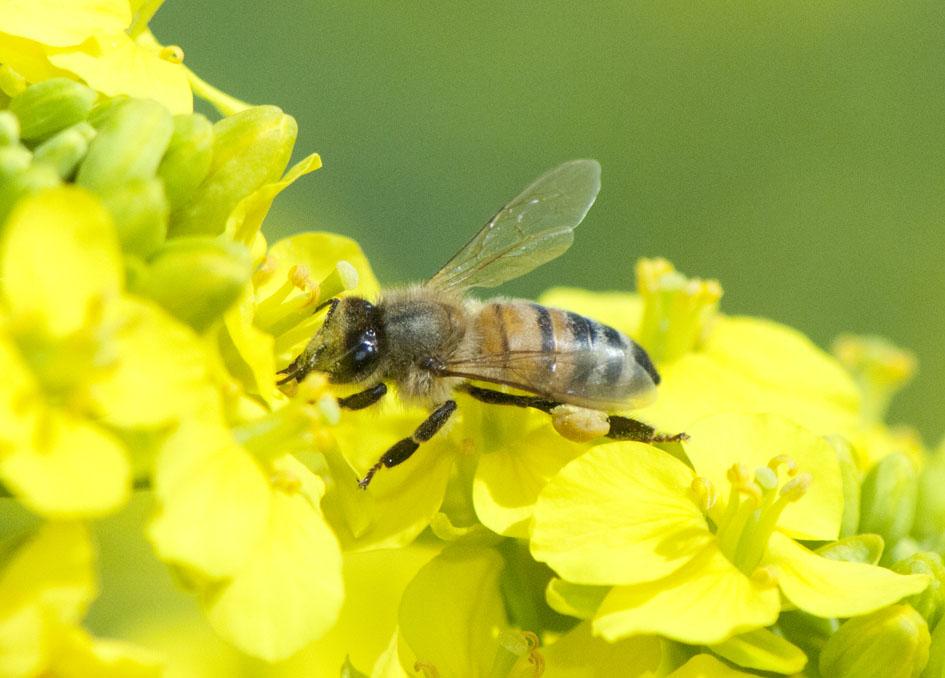 菜の花とセイヨウミツバチ